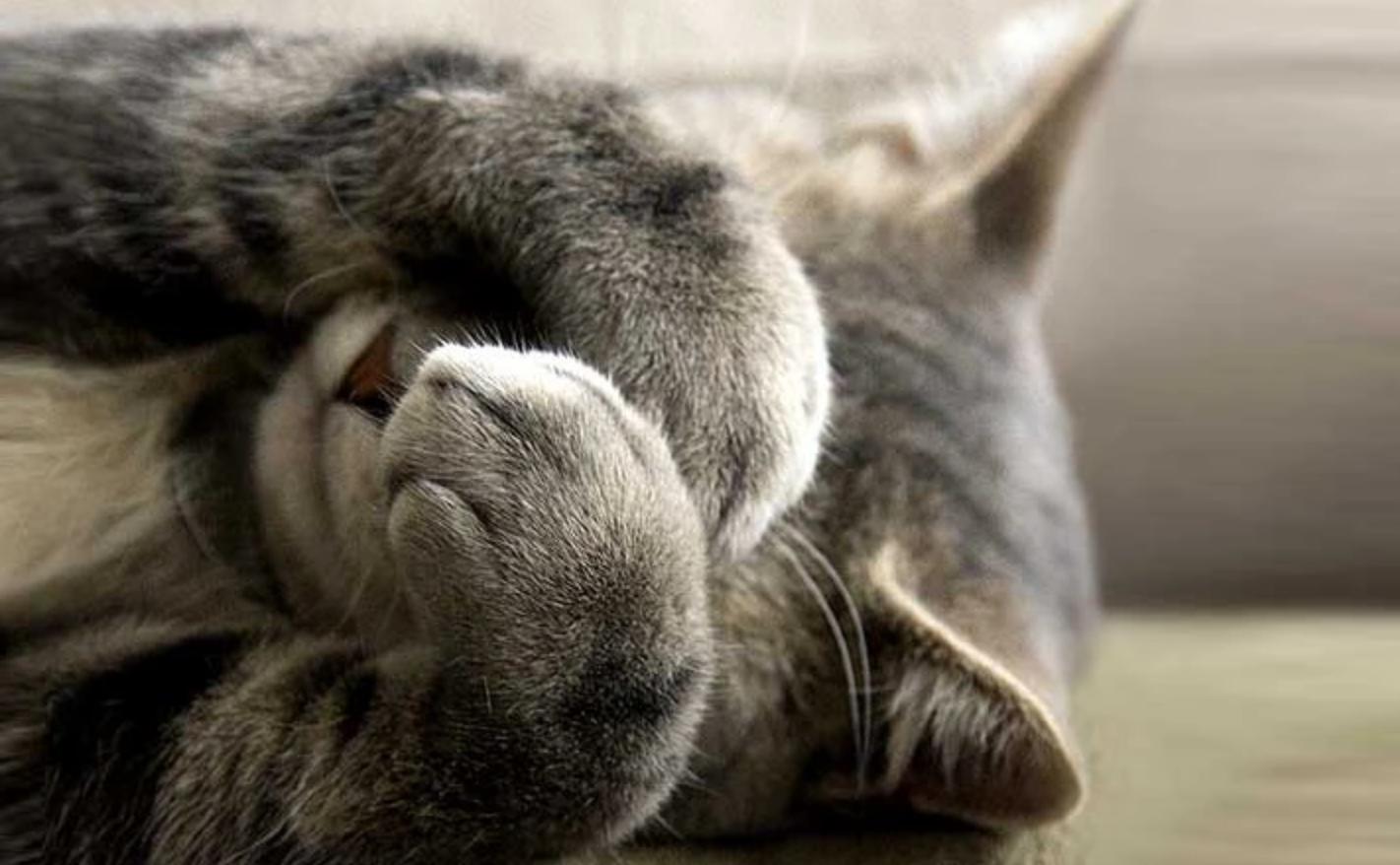 photo d'un chat se cachant les yeux