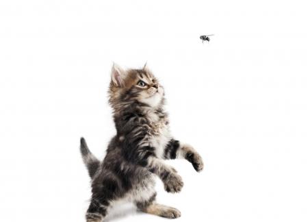 chat attrape mouche